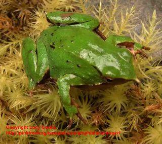 Pregfrog