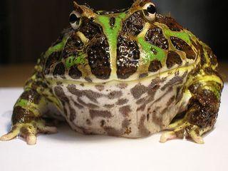 800px-Argentine_Horned_Frog_(Ceratophrys_ornata)1.JPG