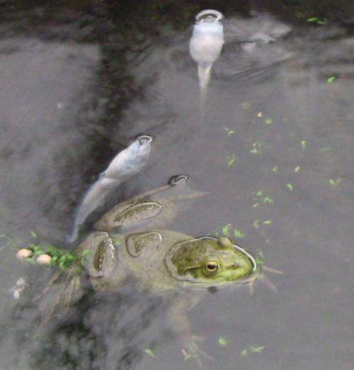 Deadtadpoleandfrog