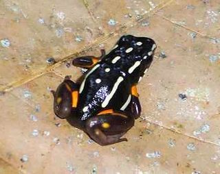 Brazilnutfrog2