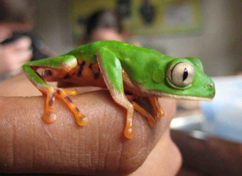 Lab monkey frog