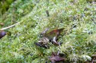 Babydfrog