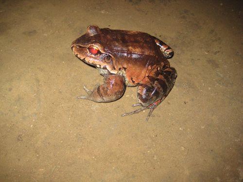 Junglefrog