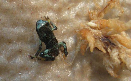 Babylucyfrog