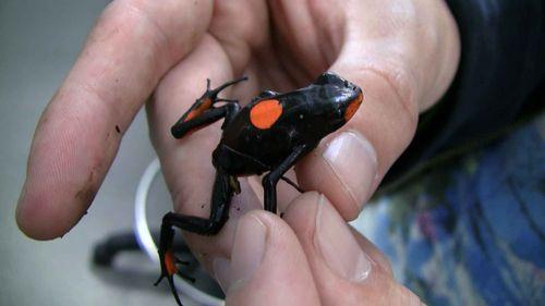 Japan dart frog