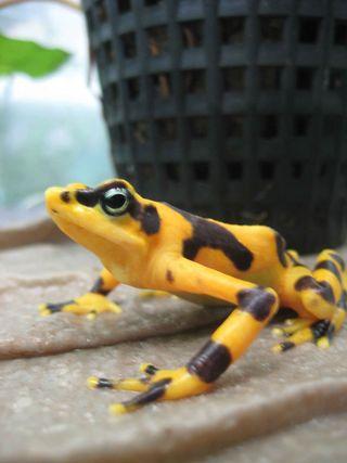 Goldfrog