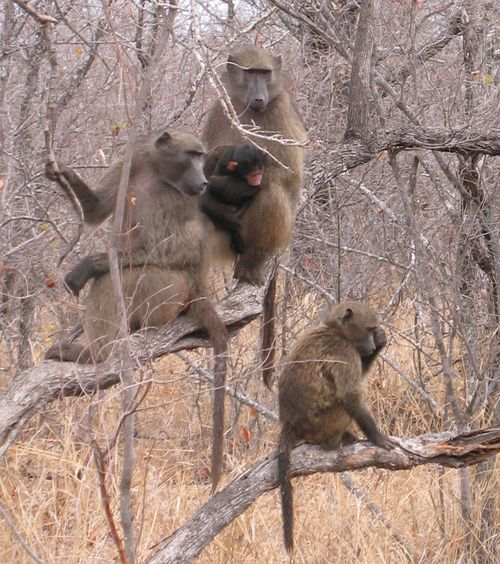 Baboonswild2